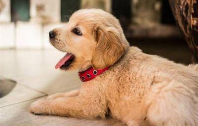洋气的宠物狗狗名字大全 宠物狗的名字怎么取